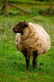 Pregnant ewe royalty free stock image