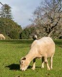 Pregnant Ewe Grazing stock photo