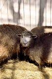 Pregnant ewe royalty free stock photos