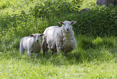 Pregnant ewe with young sheep royalty free stock photo