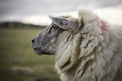 Pregnant Ewes. Pregnant Sheep in the Cotswolds Stock Image