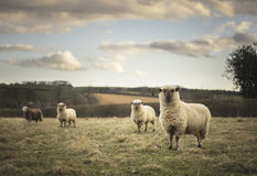 Pregnant Ewes. Pregnant Sheep in the Cotswolds Royalty Free Stock Photo
