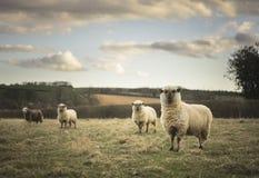 Pregnant Ewes Royalty Free Stock Photo