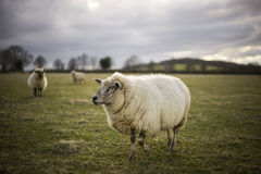 Pregnant Ewes. Pregnant Sheep in the Cotswolds Royalty Free Stock Images