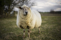 Pregnant Ewes. Pregnant Sheep in the Cotswolds Royalty Free Stock Photos