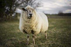 Pregnant Ewes Royalty Free Stock Photos