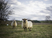 Pregnant Ewes Stock Photo