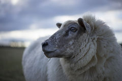 Pregnant Ewes Royalty Free Stock Images