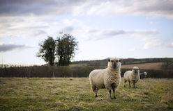Pregnant Ewes. Pregnant Sheep in the Cotswolds Stock Photo