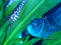 Pregnant Femal Kenyi Cichlid Stock Photo