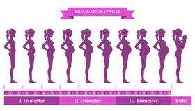 Pregnant female silhouettes. Vector illustration of pregnant female silhouettes. Changes in a woman's body in pregnancy. Pregnancy stages, trimesters and birth Stock Photos