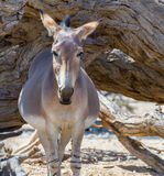 Pregnant female of Somali wild donkey Equus africanus. This species is the forefather of all domestic asses, however, it is extremely rare both in nature and in Stock Photography