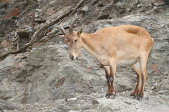 Pregnant female wild Caucasian tur on rock background Royalty Free Stock Photography