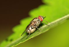 Pregnant fly Stock Image