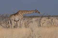 Pregnant giraffe Stock Photos