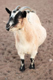 Pregnant Goat. Portrait of a pregnant french alpine goat Royalty Free Stock Images
