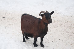 Pregnant goat brown color Stock Photography