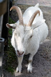 Pregnant goat Royalty Free Stock Images