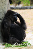 Pregnant Gorilla Royalty Free Stock Images
