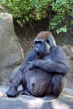 Pregnant gorilla. In the Bronx Zoo stock photos