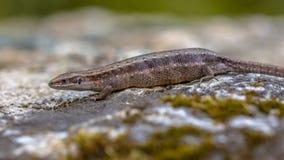 Pregnant or gravid female of Viviparous lizard. Or common lizard (Zootoca vivipara) resting on a stone stock photos
