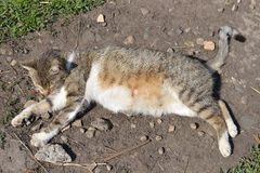 Pregnant gray striped cat lying and resting in yard at the sun Royalty Free Stock Photos