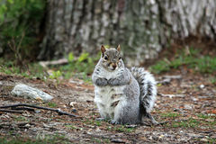 Pregnant Grey Squirrel. Grey Squirrel pregnant and will soon deliver babies Stock Image