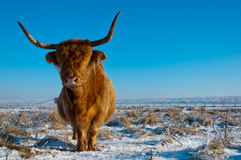 Pregnant Highland Cow In Winter Coat Royalty Free Stock Photography