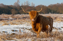 Pregnant Highland cow in winter coat Royalty Free Stock Photos