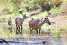 Pregnant hinds in water Stock Images