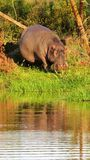 Pregnant Hippo at the waters edge in Africa royalty free stock photos