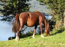 Pregnant horse on coast of lake Royalty Free Stock Photos