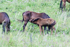 Pregnant horse with foal Stock Photography