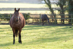 Pregnant Horse. A heavily pregnant horse standing in a field stock image