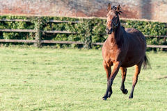 Pregnant Horse Royalty Free Stock Photography