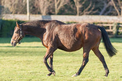 Pregnant Horse. A heavily pregnant horse walking in a field stock photo