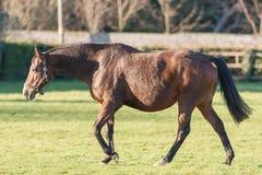 Pregnant Horse Stock Photo