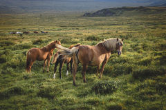 Pregnant horse and her foal Royalty Free Stock Images