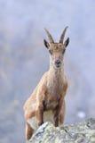 Pregnant ibex Stock Photography