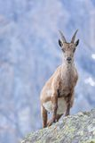 Pregnant ibex Stock Images
