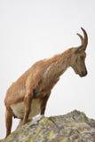 Pregnant ibex Stock Photos
