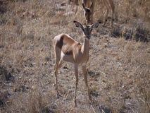Pregnant Impala Stock Photos