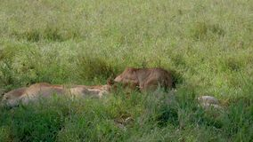 Pregnant Lioness Looking For A Comfortable Place Under Shadow Of A Tree In Pride. Young pregnant lioness in pride among sleeping lions looking for a comfortable stock video footage