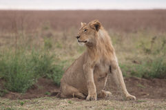 Pregnant Lioness in the Serengetti. A pregnant lioness sits and looks towards her right in the grassland of the Serengeti, Tanzania stock image