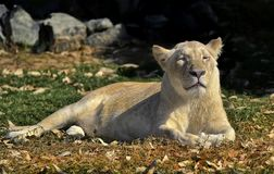 Pregnant Lioness. A silhouette of a resting lioness lying on the grass royalty free stock photography