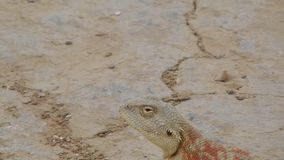Pregnant lizard. stock video