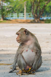 Pregnant long-tail macaque. With her banana Stock Images