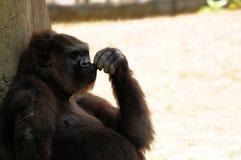 Pregnant lowland gorilla Stock Image
