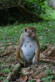 Pregnant Macaque. Looking at the rest of the group Stock Photos