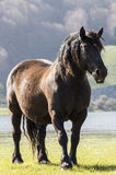 Pregnant mare Royalty Free Stock Photos